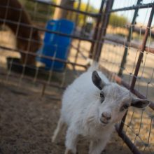 Baby Goat Waking Up - Animal Assisted Therapy - Rosewood Centers For Eating Disorders