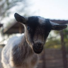 Cute Baby Goat - Animal Assisted Therapy - Rosewood Centers For Eating Disorders