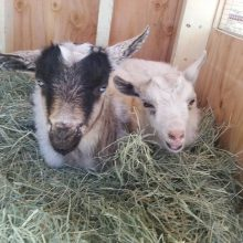 Milo And Otis Are Our Nigerian Dwarf Goats - Animal Assisted Therapy - Rosewood Centers For Eating Disorders