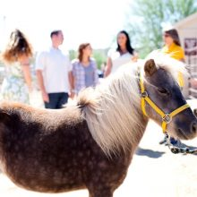Miniature Horse Portrait - Equine Therapy - Rosewood Centers For Eating Disorders