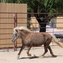 Miniature Horse Running - Equine Therapy - Rosewood Centers For Eating Disorders