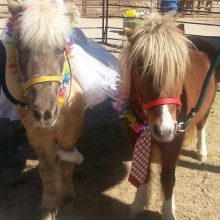 Miniature Horse Wedding - Equine Therapy - Rosewood Centers For Eating Disorders