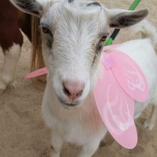 Otis The Magical Goat - Animal Assisted Therapy - Rosewood Centers For Eating Disorders